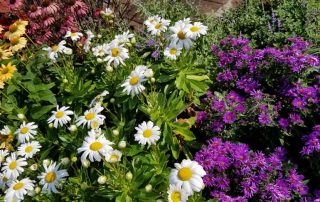 Daisies & Asters